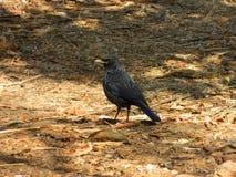 Птица кукушки Стоковое фото RF