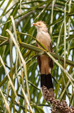 Птица кукушки Guira на ветви дерева Стоковая Фотография RF