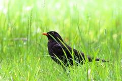Птица кукушкы мужская сидя на поле зеленой травы Черная воробьинообразная птица сидя и трава петь со вне предпосылкой bokeh зелен стоковая фотография rf