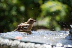 Птица купая в фонтане Стоковая Фотография