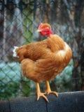 Птица - курица шеи Nacked Стоковые Изображения RF