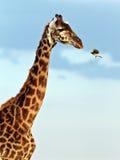 птица летает намордник giraffe к Стоковое Фото