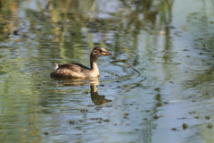 Птица маленьких поганковых на воде Стоковая Фотография