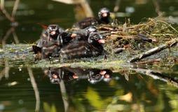 Птица маленьких поганковых Стоковое Изображение RF