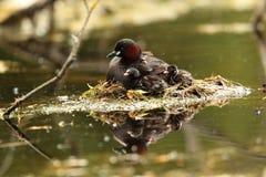 Птица маленьких поганковых Стоковая Фотография