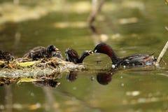 Птица маленьких поганковых Стоковая Фотография RF