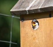 птица младенца показывая язык Стоковые Фотографии RF