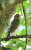 Птица молочницы на ветви дерева Стоковая Фотография RF