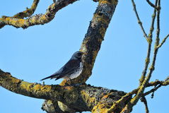 Птица молочницы на ветви дерева Стоковое фото RF