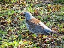 Птица молочницы на траве Стоковое Изображение