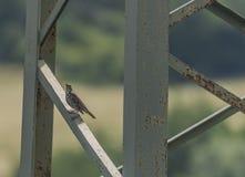 Птица молочницы на электрическом столбе Стоковые Фото