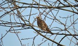 Птица молочницы Стоковое фото RF