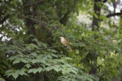 Птица молочницы Стоковые Изображения RF