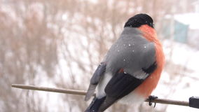 Птица мужчины Bullfinch сток-видео