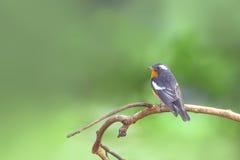 Птица мухоловки Mugimaki птицы (mugimaki ficedula), садясь на насест на ветви Стоковая Фотография RF