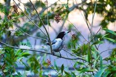 Птица мясника Стоковое Изображение RF