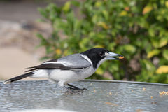 Птица мясника стоковая фотография