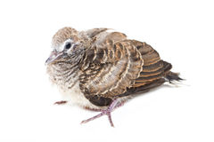 Птица младенца голубя зебры. Стоковые Фото