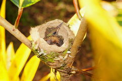 Птица младенца Rufous замкнутого колибри в гнезде Стоковые Фото