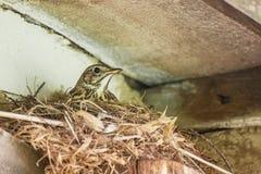 Птица насиживая яичка в гнезде Стоковое Изображение RF