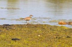 Птица на береге Стоковая Фотография RF