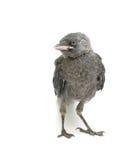 Птица на белой предпосылке Стоковые Изображения RF