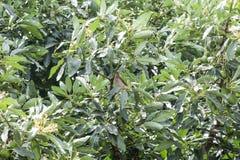 Птица на ветви дерева авокадоа Стоковое Изображение