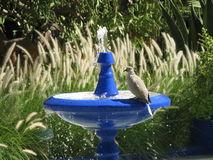 Птица на выпивая фонтане Стоковое Изображение RF