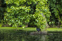 Птица на гнезде в воде Стоковая Фотография RF
