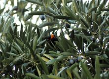 Птица на оливковом дереве в тени сидя на ветви Стоковые Фотографии RF