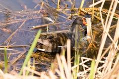 Птица на пруде Стоковые Изображения RF