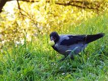 Птица на траве Трава солнце биографической Ворона с яблоком стоковое изображение