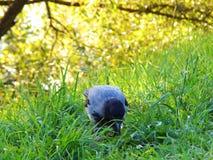 Птица на траве Трава солнце биографической Ворона с яблоком стоковые изображения