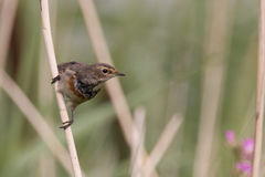 Птица на тростнике Стоковые Фото