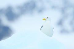 Птица на льде, сцена зимы от арктики Черно-шагающий Kittiwake, tridactyla Rissa, с голубым ледником льда, айсберг в предпосылке, стоковые фотографии rf