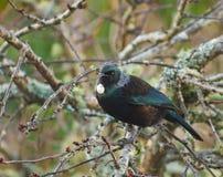 Птица Новой Зеландии родная Tui в дереве Стоковое Изображение