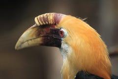 Птица-носорог папуасския Стоковые Изображения