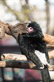 Птица-носорог трубача стоковые фотографии rf