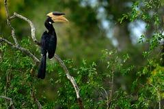 Птица-носорог Malabar пестрая, coronatus Anthracoceros, птица с большим счетом, лесами Шри-Ланки, Азией Сцена живой природы от Шр стоковые изображения rf