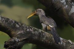 Птица-носорог Malabar серая садилась на насест на ветви дерева стоковые фото