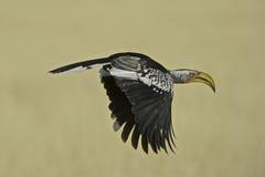 Птица-носорог Yellowbilled в полете Стоковое Изображение