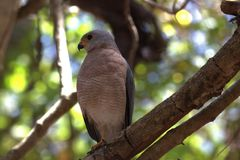 Птица добычи на острове Komodo Стоковая Фотография RF