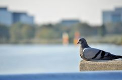 Птица озером города Стоковые Изображения RF