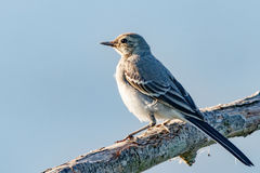 Птица ослабляя на ветви на заходе солнца Стоковая Фотография RF