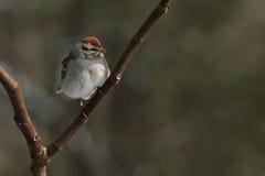 Птица откалывая воробья на ветви дерева Стоковое фото RF