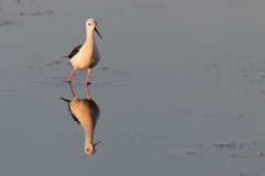 Птица отражая на поверхности озера -1 Стоковое фото RF