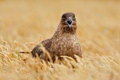 Птица от Норвегии Поморниковый Брайна, Catharacta Антарктика, птица воды сидя в траве осени, выравнивая свет Портрет детали моря Стоковое Изображение