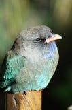 Птица доллара Стоковая Фотография RF