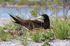 Птица олуха Брайна Стоковое Изображение RF