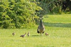 Птица павлина мати защищая цыпленоки Стоковое Изображение